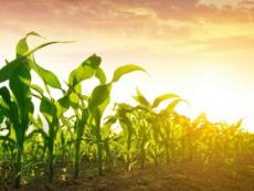 A new study in northwest Ohio's Maumee River watershed will look closely at farm fields with elevated phosphorus. The aim: improve Lake Erie's water quality while maintaining yields of crops. (Photo: Getty Images.)
